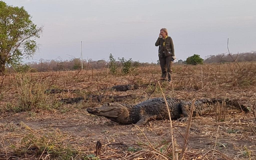 Sema monitora migração natural de jacarés no Pantanal
